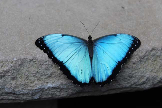Buttefly 5